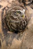Little Owl (athene noctua) — Stock Photo