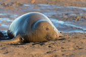 Atlantic Grey Seal (halichoerus grypus) — Stock Photo