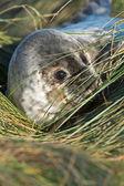 Atlantic Grey Seal Pup (halichoerus grypus) — Stock Photo