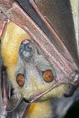 Straw Coloured Fruit Bat (Eidolon Helvum) — Stock Photo
