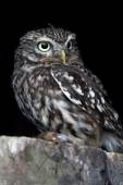 Little Owl (Athene Noctua) — Stock Photo