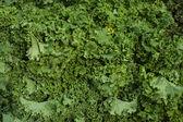 Fresh Kale — Stock Photo