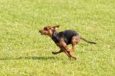 Dog Race — Stock Photo