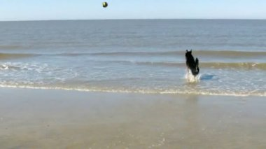 Dog retrieving a Toy out of the Water — Stock Video