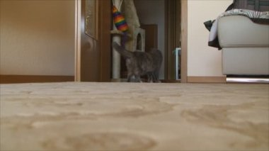 Pregnant cat walks through the apartment — Stockvideo