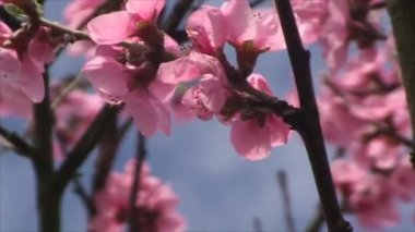 Peach tree in blossom time — Stock Video
