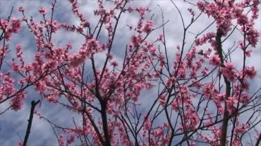 Peach tree blossoms very delicate flowers — Stock Video