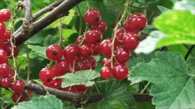 A branch of the red currant swaying in the wind — Stock Video