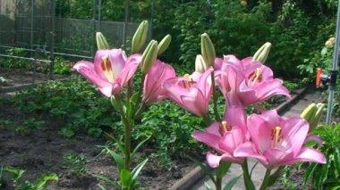 Tender orange lilies grow in the garden — Stock Video