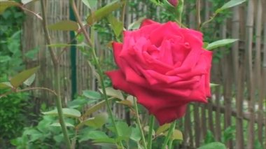 Red rose swinging in the wind — Stock Video