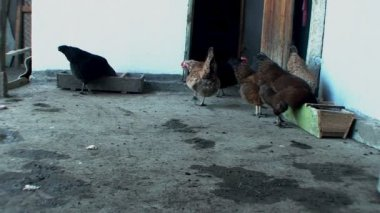 Beautiful, well-fed chickens peck the grain in the henhouse — Stock Video