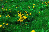 On the green lawn of dandelions grow — Stock Photo