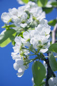 Spring, the tree blossomed delicate white cherry blossoms — Stock Photo