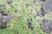 Moos and lichen - background — Stock Photo