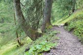 Walk in the alps spruce forest — Stock Photo