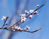 Spring cherry white flower on blue sky background. — Stock Photo