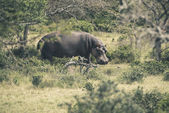 Hippo walking through bushes. Mpongo game reserve. South Africa. — Stock Photo