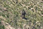 Baboon running on grassy slope. Swartberg. Western Cape. South A — Stock Photo