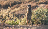 Meerkat at sunrise standing towards the sun. Warming up. The Lit — Stock Photo