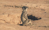 Young meerkat sitting on the ground near hole. Warming up in the — Stock Photo