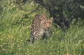 Leopard walking through high grass. Tenikwa wildlife sanctuary.  — Stock Photo
