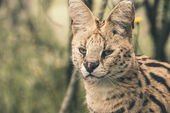Headshot of serval cat. Tenikwa wildlife sanctuary. Plettenberg  — Stock Photo
