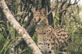 Serval cat standing between bushes. Tenikwa wildlife sanctuary.  — Stock Photo