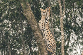Serval cat climbing in tree catching food. Tenikwa wildlife sanc — Stock Photo