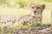 Close-up of cheetah lying in grass. Tenikwa wildlife sanctuary.  — Stock Photo