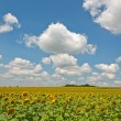 Large field of yellow sunflowers — Stock Photo #64126331