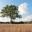 Wheat field with a lone tree — Stock Photo #65074483