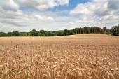 Field of ripening golden wheat — Stock Photo