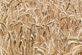 Agricultural background of ripening wheat — Stock Photo