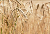 Wheat ripening in a field — Stock Photo