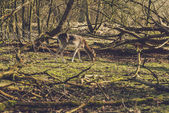 Deer grazing in a woodland clearing — Fotografia Stock