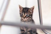 Gray Domestic Tabby Pussycat — Stock Photo