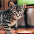 Kitten standing over its food — Stock Photo #72500171