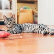 Grey tabby cat with striped markings — Stock Photo #77062407