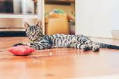 Grey tabby cat with striped markings — Stock Photo