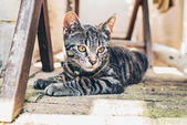 Tabby cat with intense golden eyes — Stockfoto