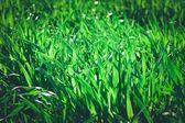 新鮮な厚い草のクローズ アップ — ストック写真