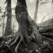 Old tree with huge roots — Stock Photo #74289731