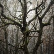 Twisted old tree in spooky forest — Stock Photo #74299601