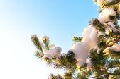 Christmas evergreen  tree with fresh snow on white — Stock Photo