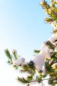 Christmas evergreen  tree with fresh snow on white — Zdjęcie stockowe