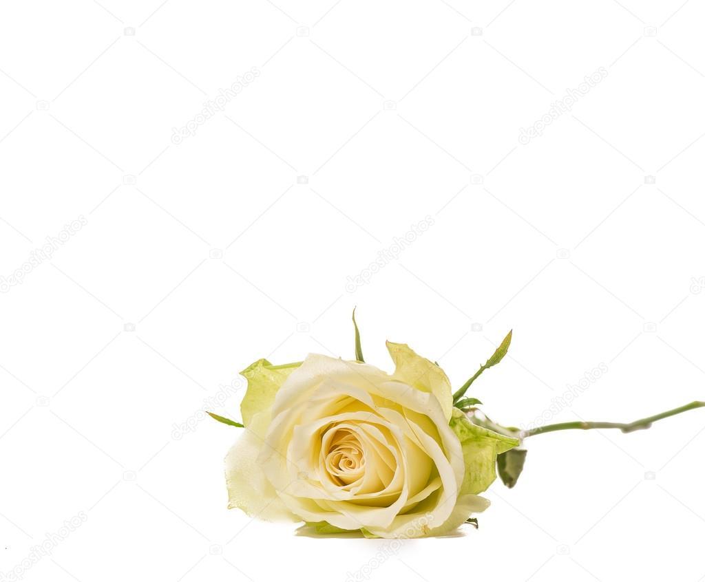 Single White Rose Stem