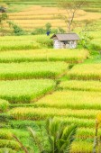 Rice terraces of Bali Island, Indonesia — Stock Photo