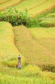 Rýžové terasy z ostrova Bali, Indonésie, s svatyně — Stock fotografie