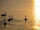 Swan Lake — Stock Photo