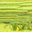 Rice terraces of Bali Island, Indonesia, detail — Stock Photo #71189231
